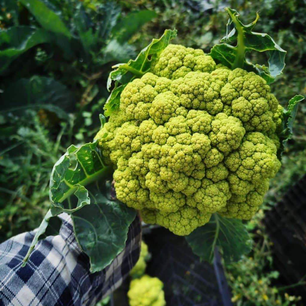 Green cauliflower from Roly Poly Farm